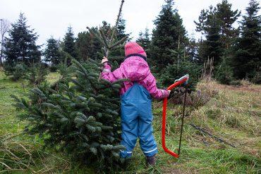 Weihnachtsbaum schlagen Potsdam Werder Werderaner Tannenhof